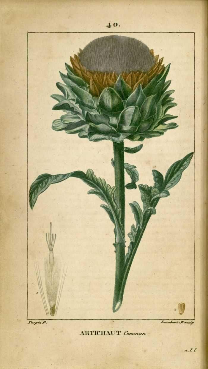img/dessins-gravures de plantes medicinales/artichaut commun, artichaud, artichaux.jpg