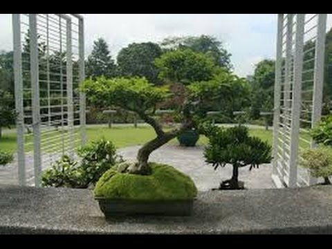 ONE SPECTACULAR BONSAI DEMONSTRATION WITH MR  MASASHI HIRAO