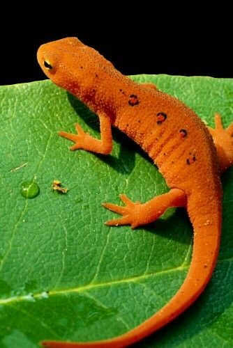 Red eft juvenile form of the eastern newt