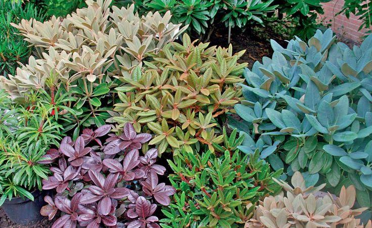 Diese Rhododendron-Sorten zeigen schmucke Blattkleider (von links oben im Uhrzeigersinn): 'Silver Dane' (weißfilzig bis beige), 'Wolly Dane' (rotbrauner Filz), 'Blue Dane' (bläulich bereift), 'Silbervelours' (silbrigweißer Filz), Rhododendron recurvoides (behaarter Austrieb), 'Ever Red' (im Sommer dunkelrot) und 'Filigran' (schmales Laub)