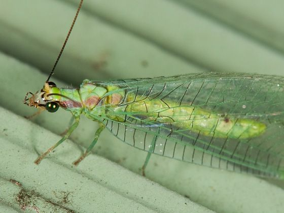 Chrysopa coloradensis