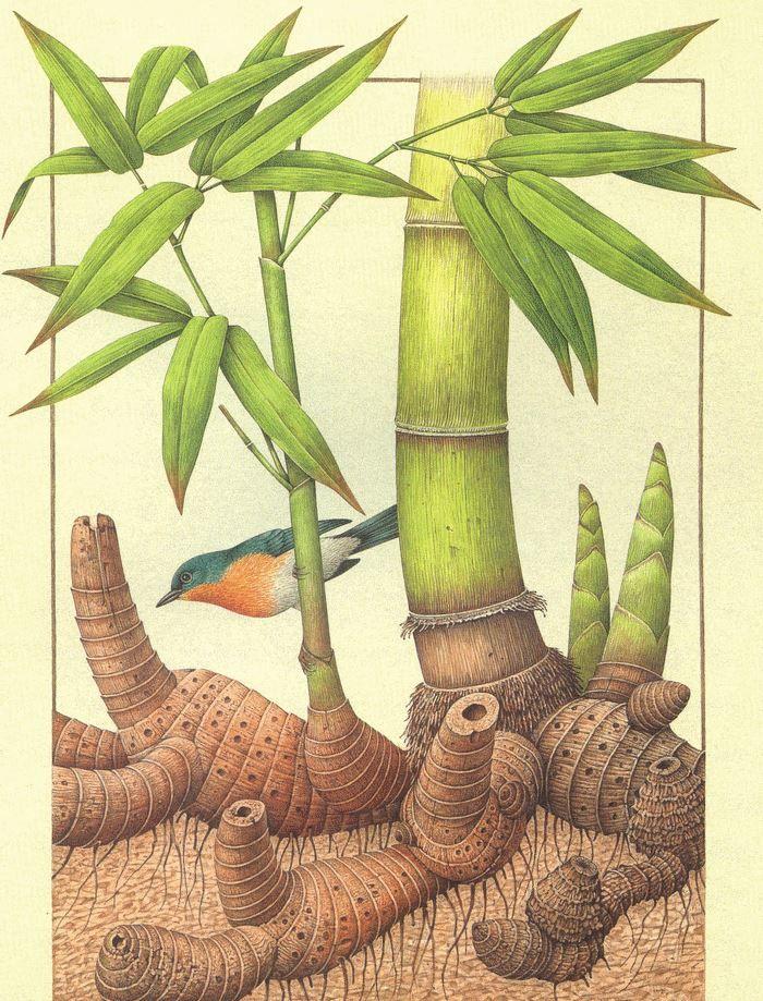 Rizoma di Bambu' Gigante e Cyornis rubeiculoides (Asia Tropicale)