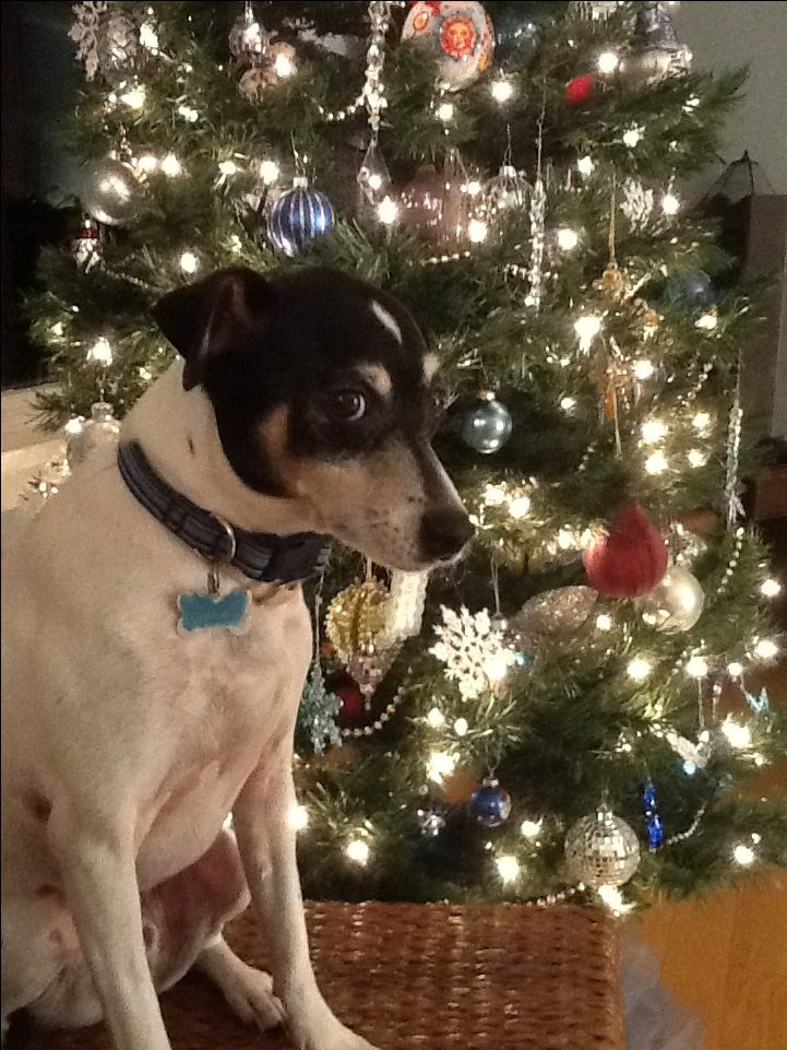 Rat terrier Christmas, lol, I suppose they all sit this way!!