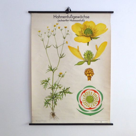 Lovely mid-century educational botanical chart put out by Volk Und Wissen, the GDR publisher, depicting a Ranunculaceae or buttercup.