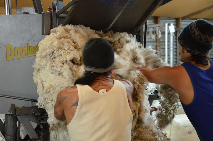 Wool pressers. Each fleece is placed into large bales and then pressed prior to shipping
