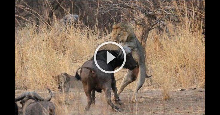 Buffalo Teaches Lion a Lesson: RARE FOOTAGE!