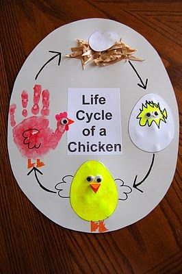 Very cute life cycle of a chicken project!