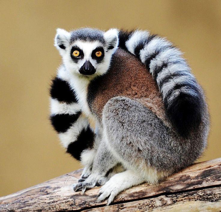 Il Lemure   Лемур, Дикие животные, Фотографии животных