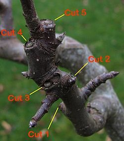Fruit tree pruning instructions on Wikipedia.