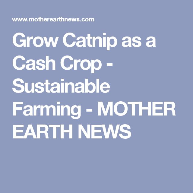 Grow Catnip as a Cash Crop - Sustainable Farming - MOTHER EARTH NEWS