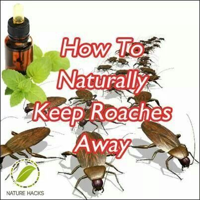 ESSENTIAL OILS Many bugs find the scent of essential oils repellant. Roaches are no exception. You can create your own homemade roach spray. The most effective oils at repelling roaches are cypress oil and peppermint oil. To make a non-toxic roach spray, mix 8 drops of cypress oil and 10 drops of peppermint oil to half a cup of water. Spray the mixture anywhere you have roach issues. The added benefit is that these oils smell lovely. No gas masks required