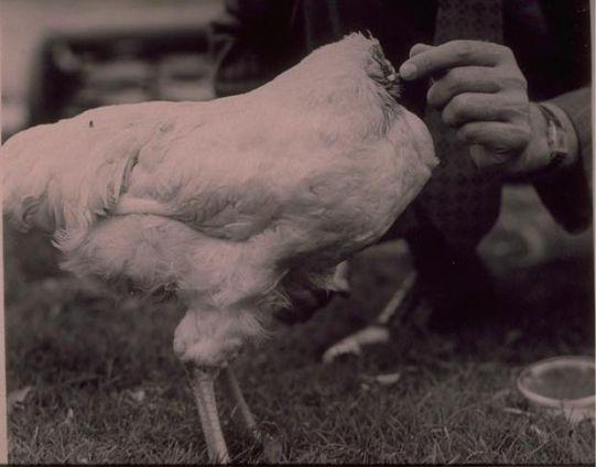 Μία ιδέα: Ο Μάικ ο κόκορας.  18 μήνες χωρίς κεφάλι.