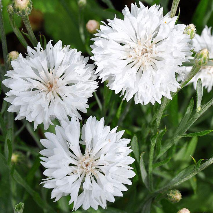 Blåklint | Ettåriga blomsterväxter | Centaurea cyanus 'Tom Pouce White' |