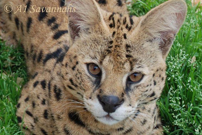 Raza Africana Serval Cat / Doméstico Cruz gato, gatos de la sabana | A1-Sabanas Europa