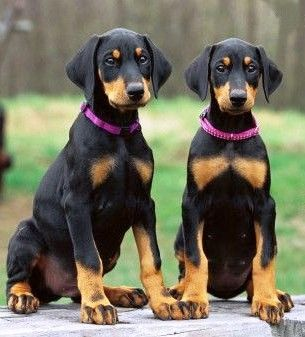 Doberman pinscher pups.......double nawww!