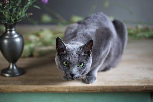 Dlaczego kot czasami biega po mieszkaniu jak oszalały?