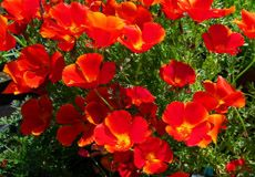 California Poppy Seeds - Red Chief