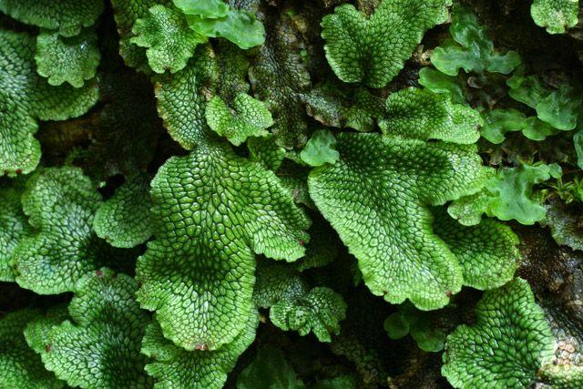 JÁTROVKA!  Játrovky jsou jednou z nejstarších skupin suchozemských rostlin.