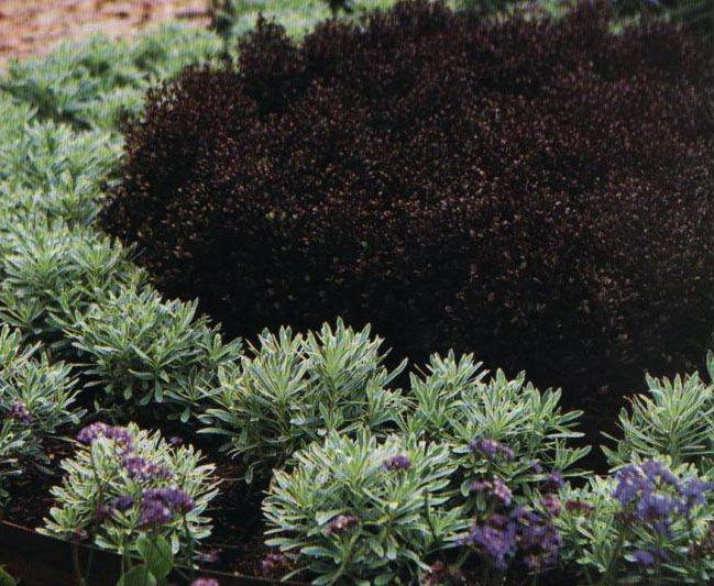 149 best Jardinnaire Noir images on Pinterest Black flowers