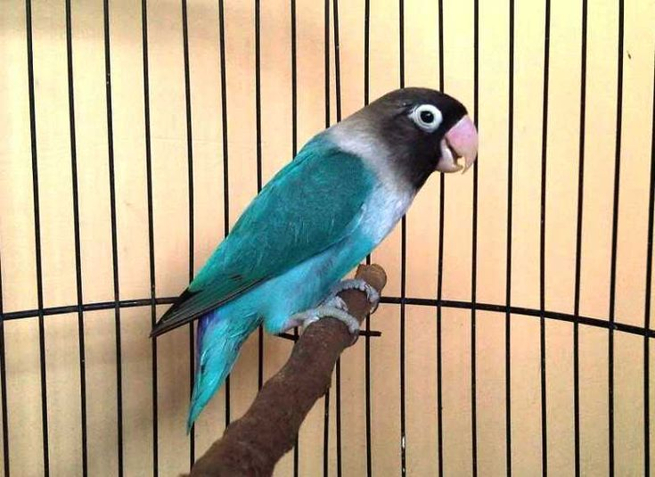 Burung Lovebird Dakocan Biru Series Burung Makanan Burung Jenis