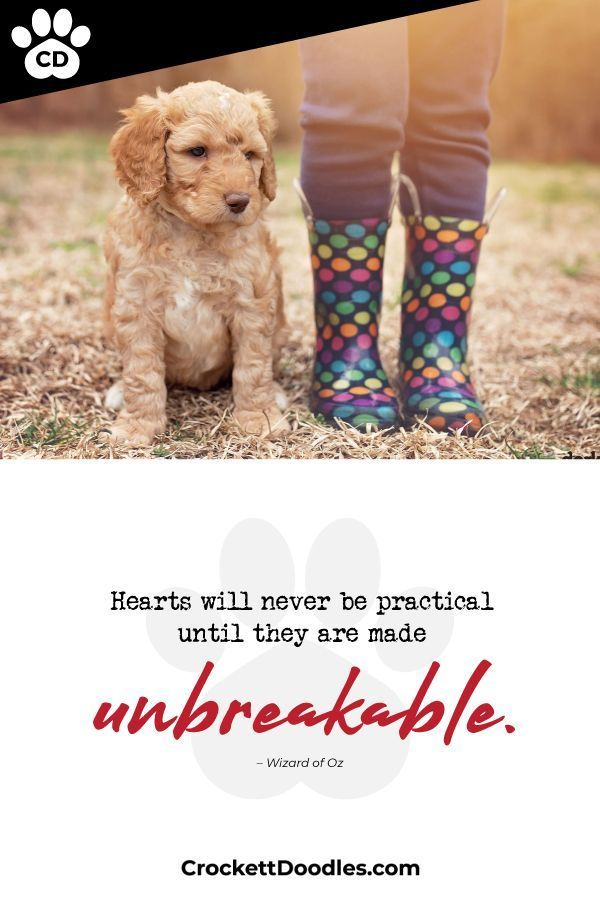 Minipet Online Pet Boutique Is A Melbourne Based For Small Dogs Cats And Their Human Guardians We Ship Goldendoodle Puppy For Sale Dog Lover Quotes Puppy Supplies