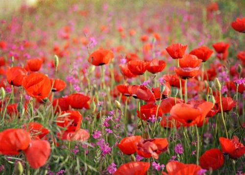 Poppy flower field!
