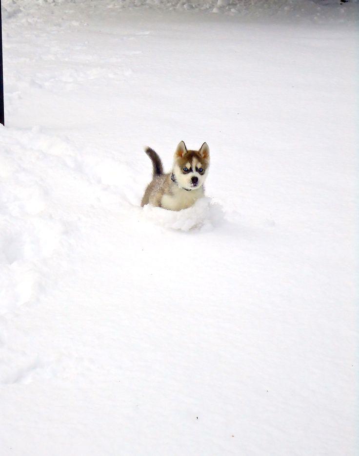 Husky puppy enjoying the snow... AHHH!!! I WANT IT I WANT IT I WANT IT!