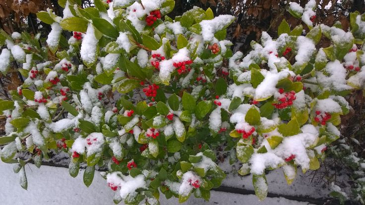 Skimmia in the snow