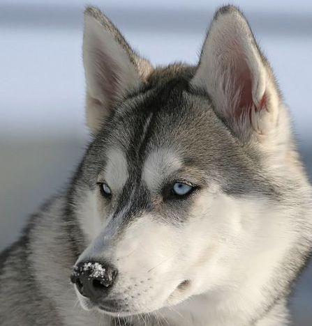 Wow!! Il ressemble vraiment à un loup!!! <3 grey siberian husky dog