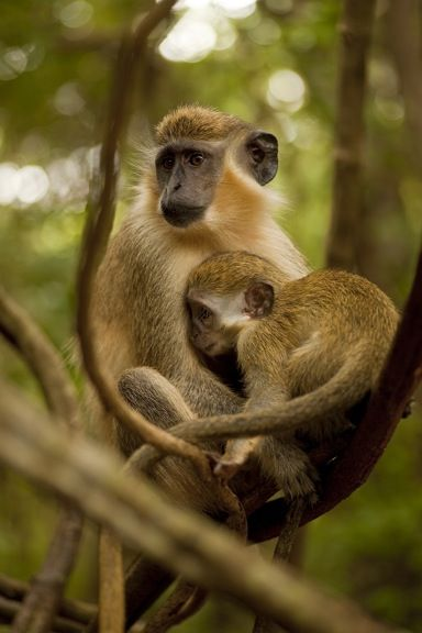 Green Monkey at Barbados WIldlife Reserve | Top 7 Things To Do In Barbados www.greenglobaltravel.com