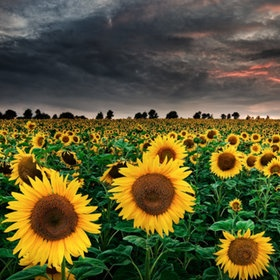 Sunflowers!: Flowers Photography, Favorite Things, April Shower, Landscape Photography, Michael Spread, Sunflowers Fields, Sun Flowers, May Flowers, Storms Cloud