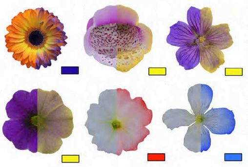 "graphic: Coloured particles reveal the electric fields of flowers. article: Bees Can Sense the Electric Fields of Flowers"" by Ed Yong on National Geographic.com, Feb 2013"