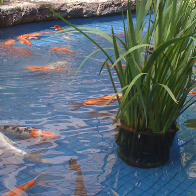 Koi pond ala Moana mall I love Koi - they are so inquisitive.  I'd love to have some but I would worry the raccoons would eat 'em.