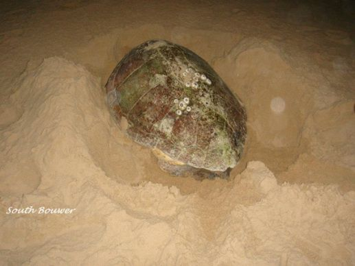 A loggerhead turtle nesting on the beach
