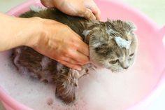 A higiene do seu gato é importante, por isso confira estas dicas para dar banho ao seu gato sem problema! #gatos #animais #cats