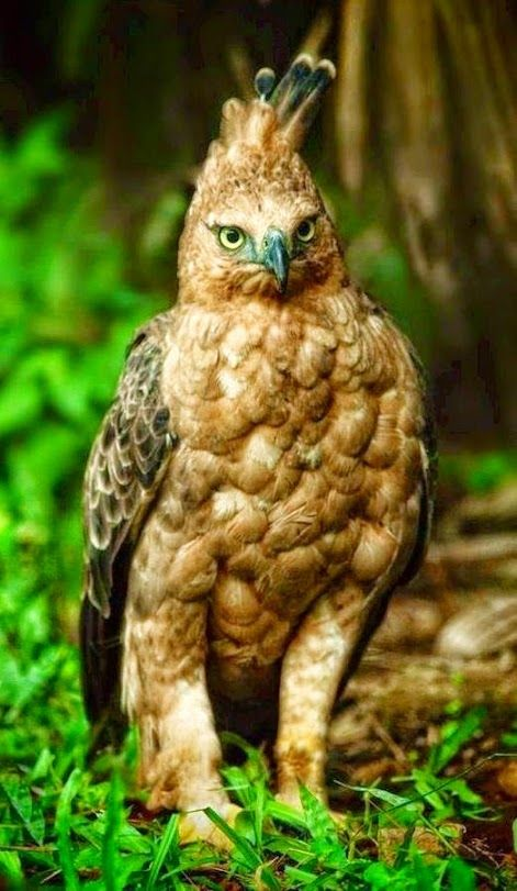 Javan Hawk Eagle -  is the national bird of Indonesia, where it is commonly referred to as Garuda. Occurs in humid tropical forests of Java. Its range in East Java includes Sempu Island, Bromo Tengger Semeru National Park, Meru Betiri National Park and Alas Purwo National Park.