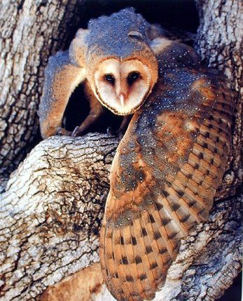 Absolutely Wonderful! This unique wall poster adds an instant character with a decorative touch to your home. You'll surely enjoy your surroundings by viewing this wonderful piece of art. This poster displays the image of barn owl which looks very eye catchy and sure to get compliments from your guests. It ensures high quality with high degree of color accuracy. Order this poster today and enjoy your surroundings.