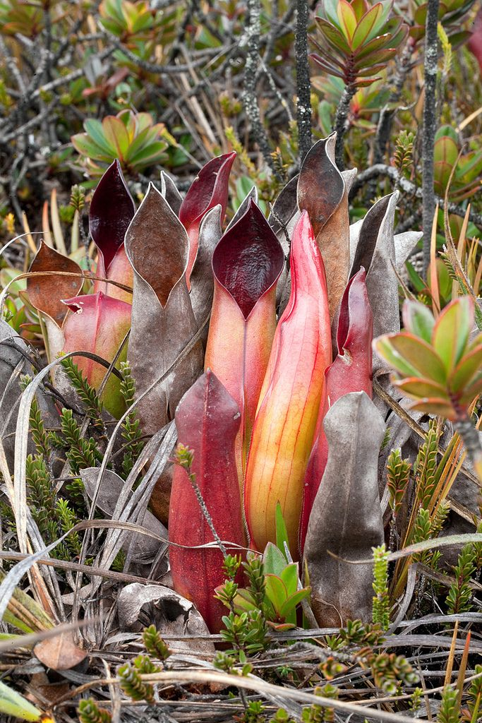 Heliamphora sarracenioides in habitat love this plant 7 uncommon indoor plants