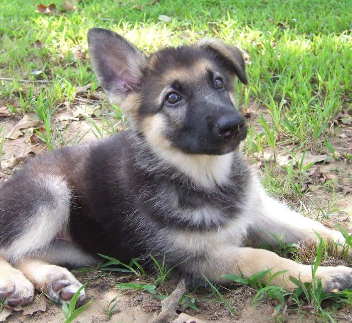 Cute Gray German Shepherd Puppies Wallpaper