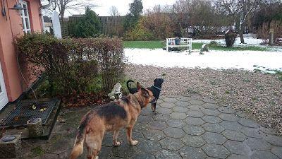 Mit hundeliv med Vaks.: Den første sne i år / This year first snow