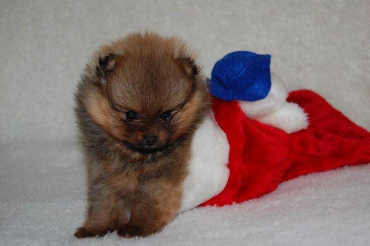 Morsomme videoer av pomeranian hunden Teddy som elsker å leke med ...