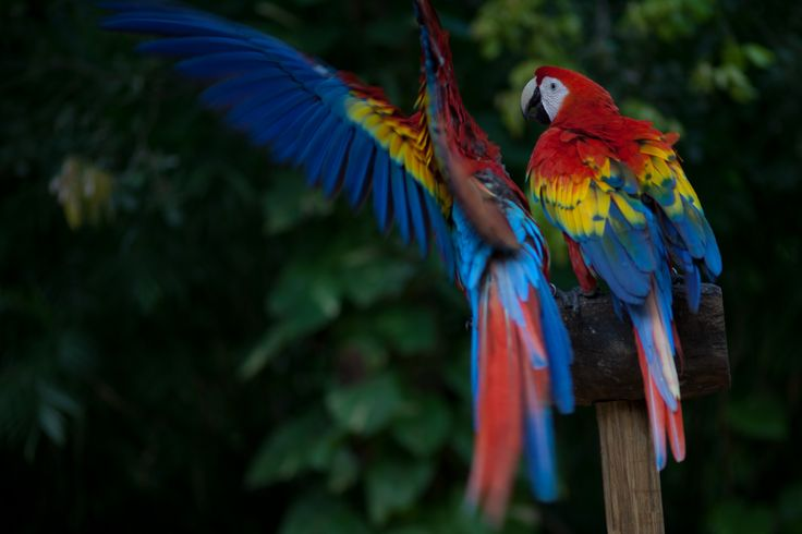 Scarlet Macaws are native to Central and northern South America. Various bird sanctuaries exist in Belize, such as the Crooked Tree Wildlife Sanctuary.