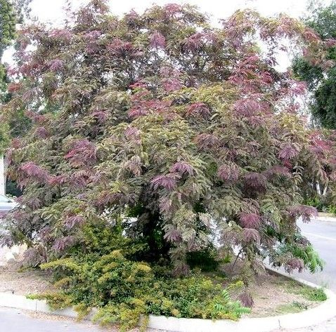 34 best images about plants trees on pinterest trees for Ornamental trees that grow in shade