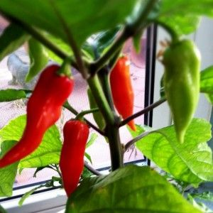 Care Of Ghost Chili Peppers: How To Grow Ghost Pepper Plants