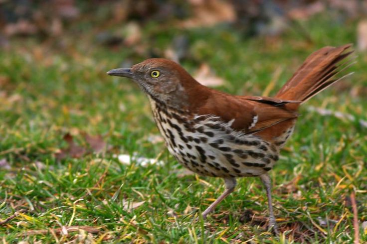 brown thrasher, Toxofoma rufum (spotted 21 Jun 2012)  http://www.allaboutbirds.org/guide/brown_thrash  er/id  http://en.wikipedia.org/wiki/Brown_Thrasher