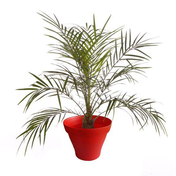 1000 id es sur le th me palmier phoenix sur pinterest for Maladie palmier interieur
