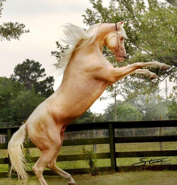 Ivory Gold - Cremello Saddlebred Stallion -just gorgeous!!!   #horses