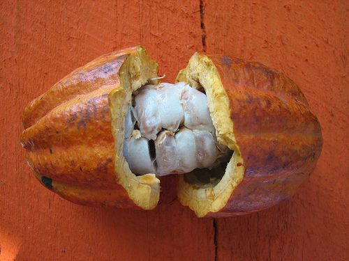 Cacao beans are enveloped in sweet white pulp inside the pod.
