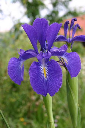 Iris-Wish I could bottle the delightful lemony smell of these flowers.