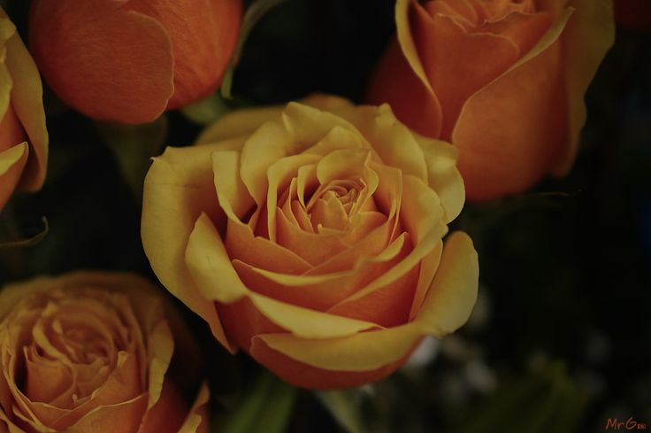 Orange Intense Rose